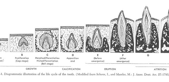 Формирование и развитие зубочелюстной системы человека